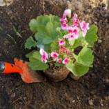 Podmienky úspešného pestovania muškátov